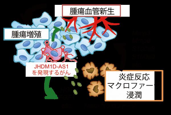 LncRNA(JHDM1D-AS1)によるがん進展機構.